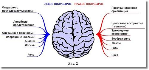 функции правого и левого полушария мозга