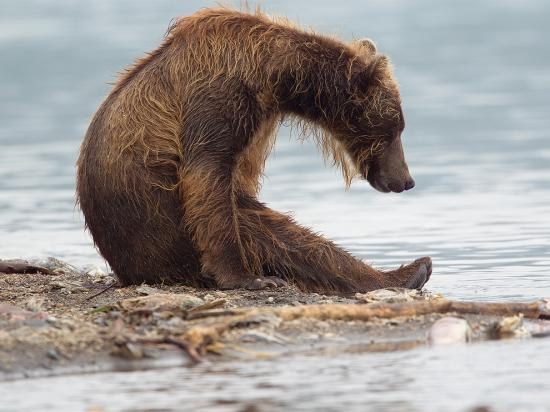 Медведи нынче уже не те