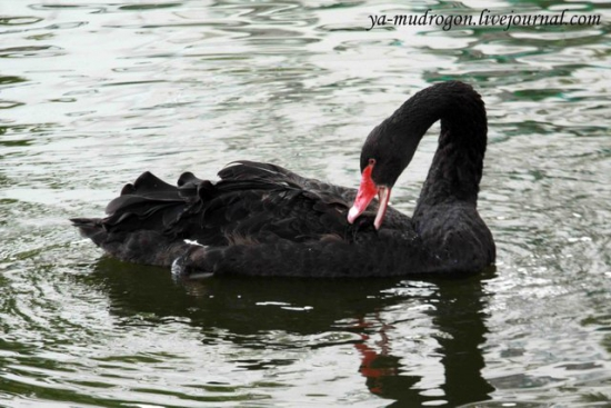 Мой личный черный лебедь