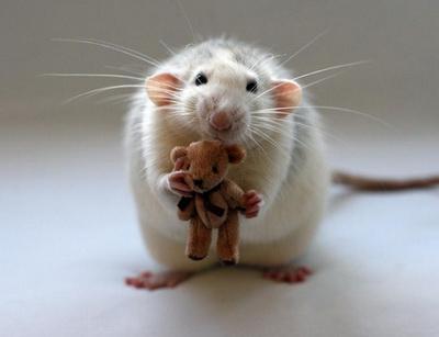 Крыса все