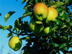 Какая связь между трейдером и яблоней.