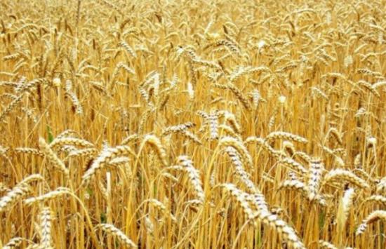 Про Крым, про пшеницу и про то как.....