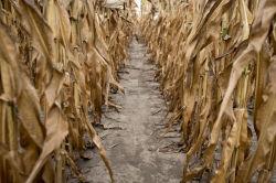 Цены на зерновые снова взлетели на беспощадной засухе