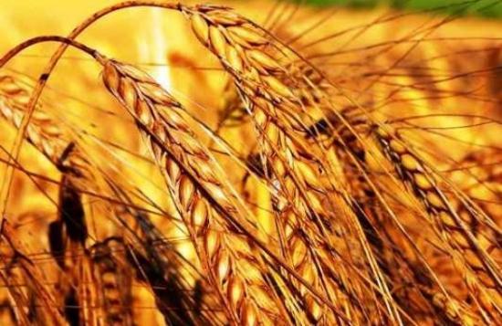 Трейдеры, торгующие пшеницей etc