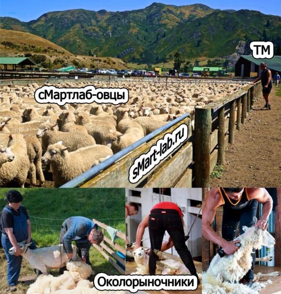 сМартлаб-овцы