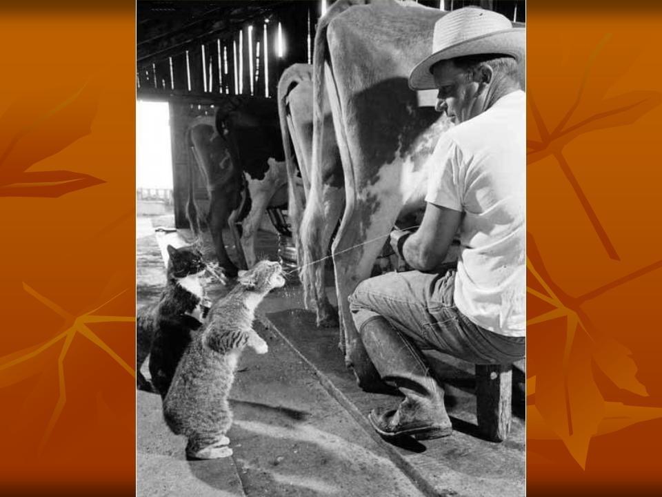 кот пьет молоко из под коровы гиф нас аналогичный случай